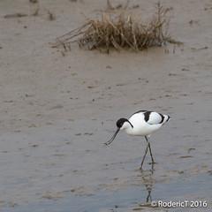 20160409-ROTL2528 Avocet Titchwell RSPB Reserve North Norfolk.jpg