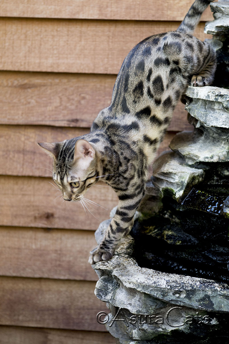AsuraCats The Hound - Brown spotted/rosetted Bengal male