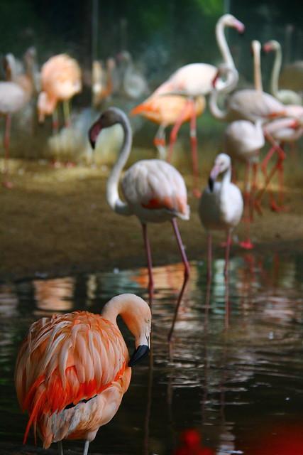 Flamingos - Parque das aves - Foz do Iguacu / Brasil
