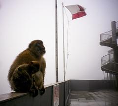 Patriotic monkeys