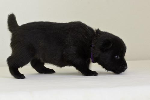 Kumi-Litter5-Day20-Puppy6-Female-d