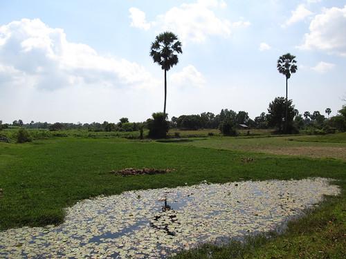 Kampot: rizières