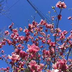 Blue skies pink flowers sunny day. #february #california