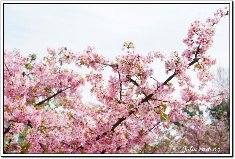 麗池公園河津櫻 (14)