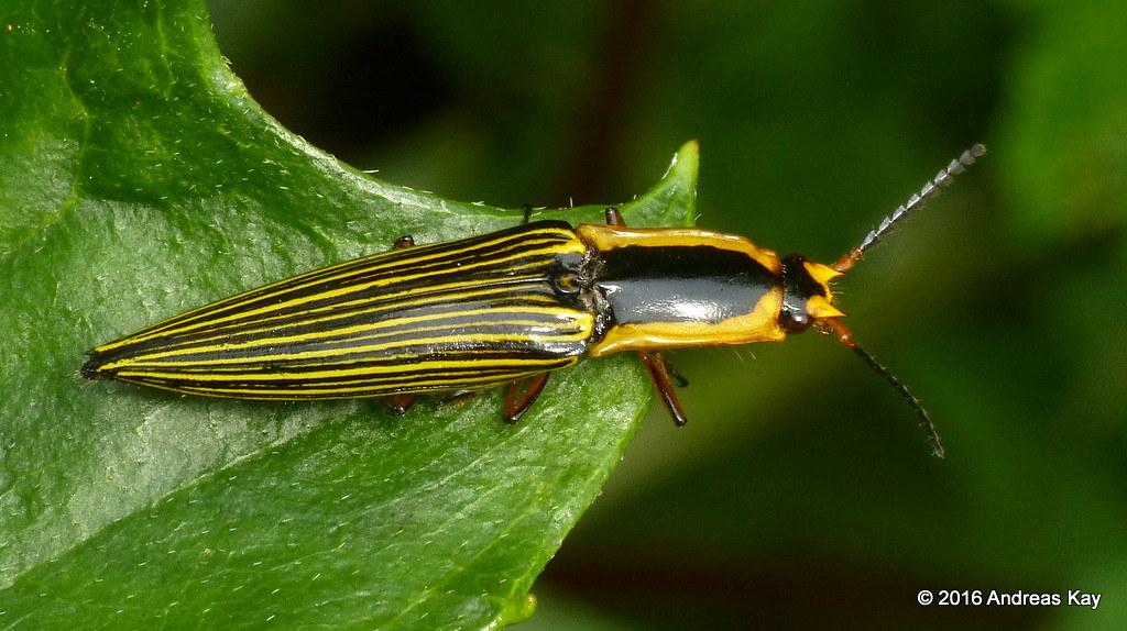 Click beetle, Semiotus superbus