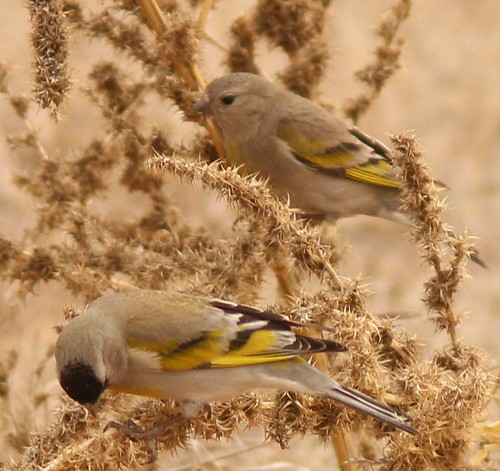 IMG_9883 Lawrence's goldfinch male and female Tubac Presidio, AZ Feb. 18, 2016