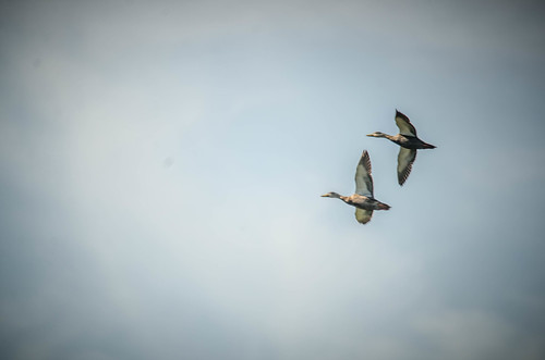 Ducks at Indrio-002