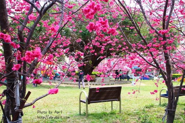 [台中北屯]崇德榕園,春天櫻花滿開啦!@北屯 柳陽東街 太原路