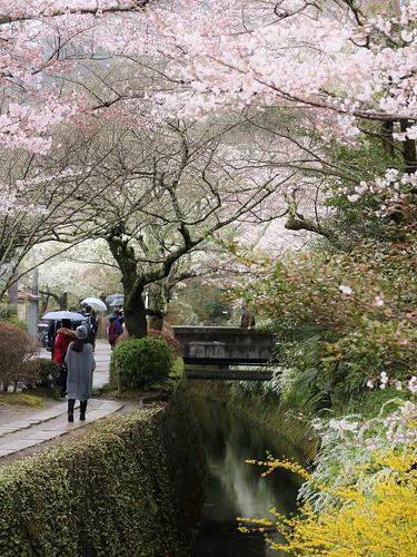 canal spring kyoto traditional 京都 sakura cherryblossoms kioto japon japonés 哲学の道 疎水