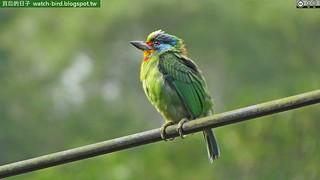 五色鳥 (Megalaima nuchalis#Taiwan Barbet)