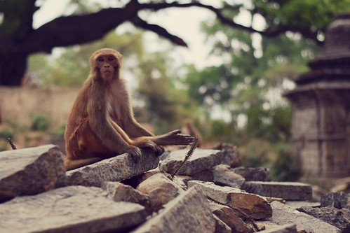 Monkey in Pashupatinath Temple