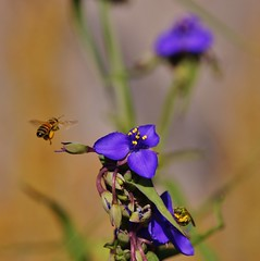 Spiderworts and Bees ~~ SonyA580