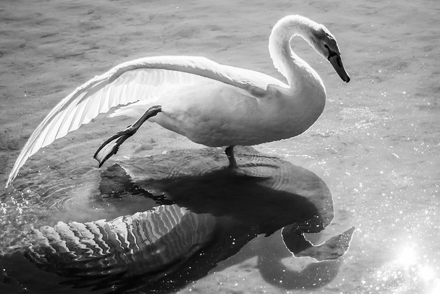 Swan stretching - Toronto High Park, ON, Canada