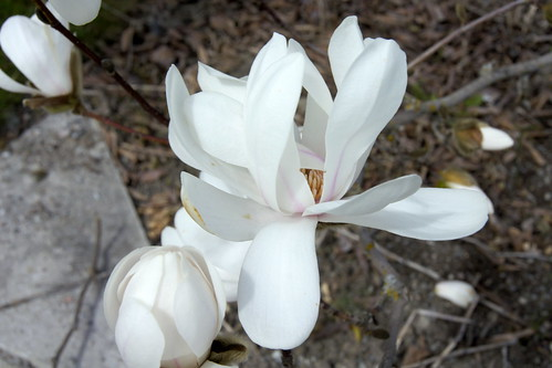 Magnolia x loebneri ('Merrill')