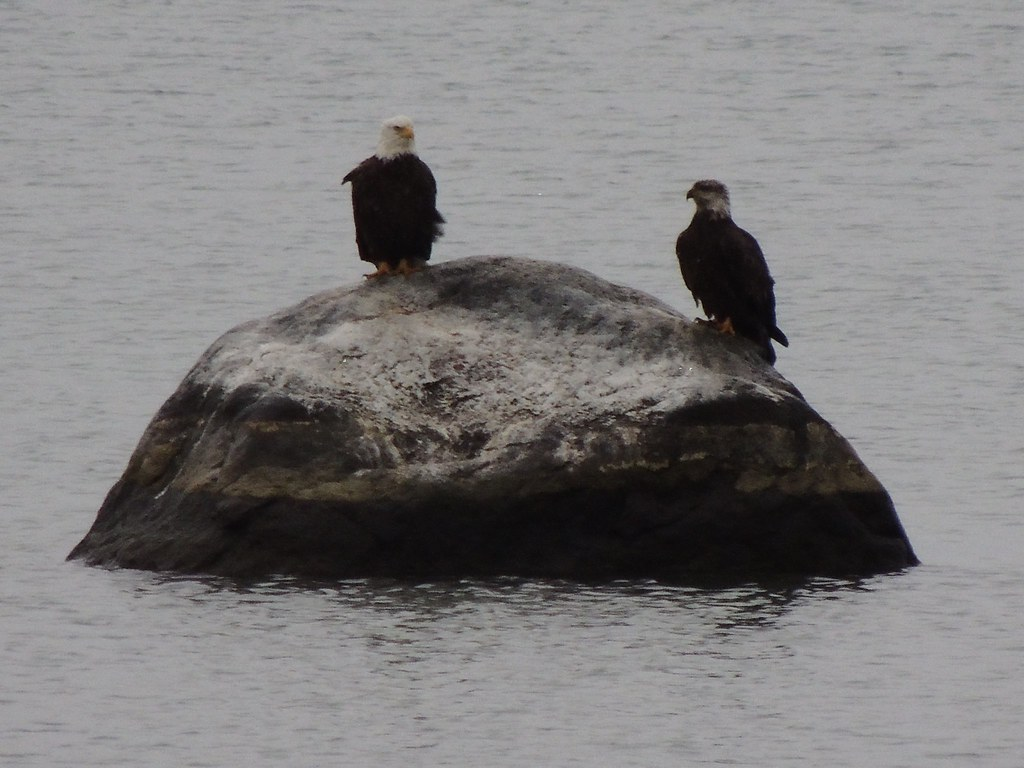 Bald Eagles Dec 2015 by Elaine