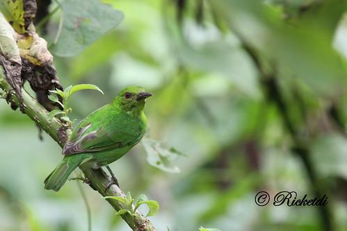 ngc npc gree greenhoneycreeper chlorophanesspiza specanimal guitguitémeraude coth5 birdofcostarica