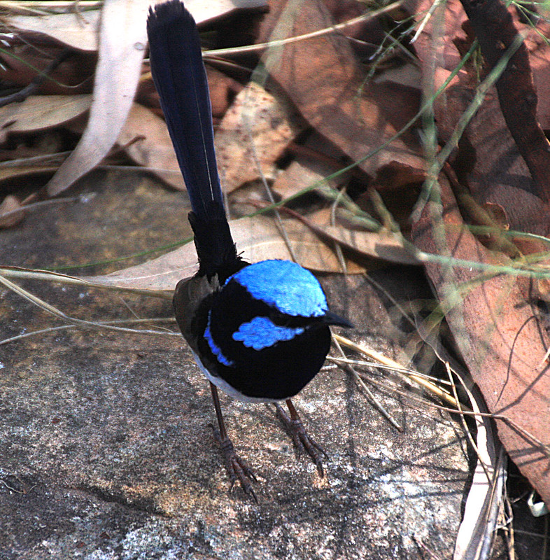 Male blue wren in breeding colours