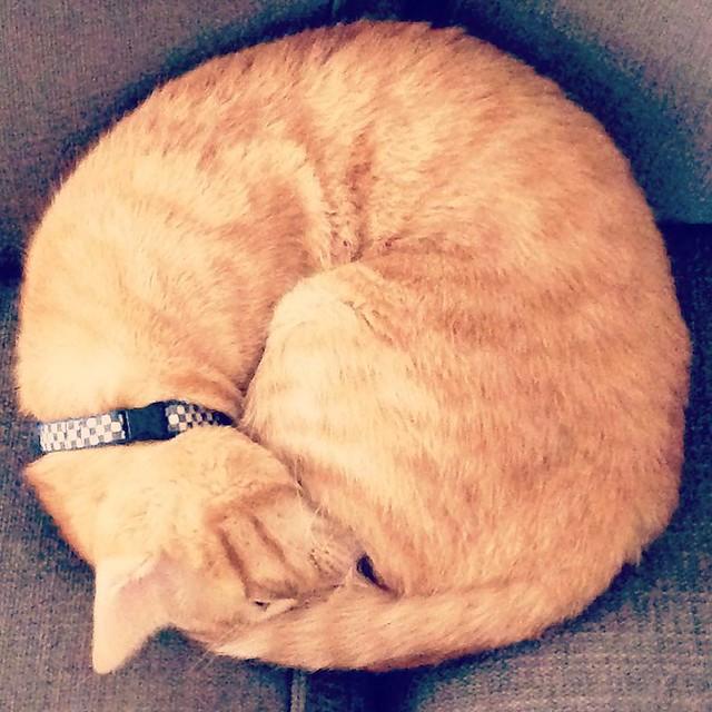 #cat #猫 #ねこ ニャンモナイト!
