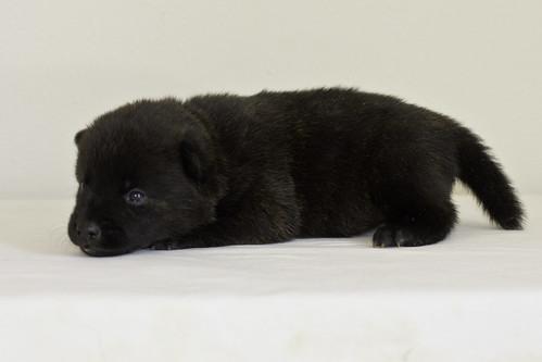 Kumi-Litter5-Day20-Puppy4-Female-c