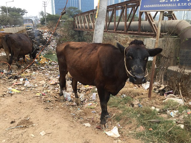 Cows at garbage yard