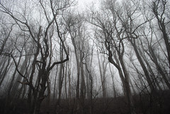 Trees and Fog on the Blue Ridge Parkway