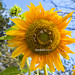 Sun Flower Morning by HamimCHOWDHURY  [Active 01 Feb 2016 ]