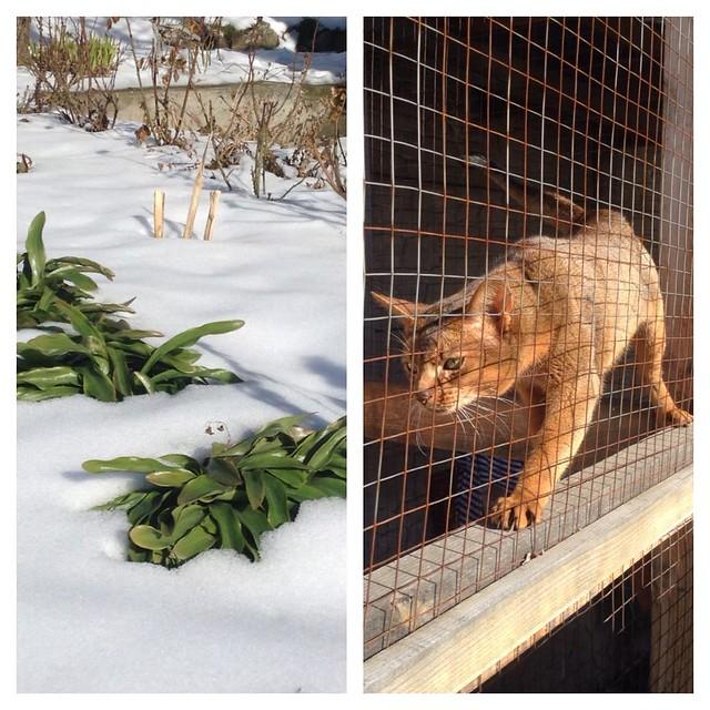 А вот и оттепель! Коту приходится несладко - на соседнем участке дерутся и гнусно завывают уличные коты, и он весь извелся))) #abyssinian  #котики  #котикиправятмиром