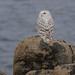 Snowy Owl, Deadman's Bay, NL, Feb 2016-3317 by barryhall08