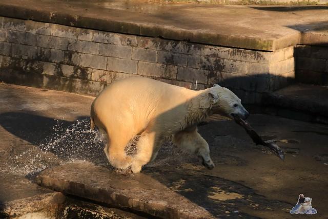 Eisbär Fiete im Zoo Rostock 06.02.2016  0114