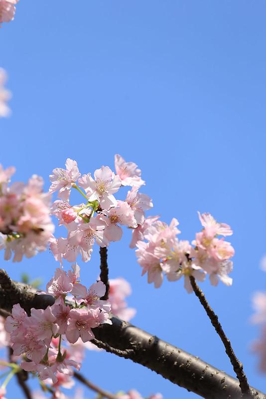 櫻花和藍天一向是我最喜歡的搭配