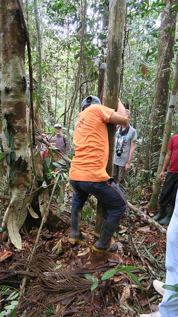 tree climbing amazon rainforest tupana