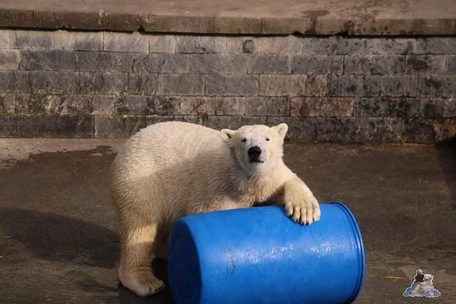 Eisbär Fiete im Zoo Rostock 20.03.2016  0186
