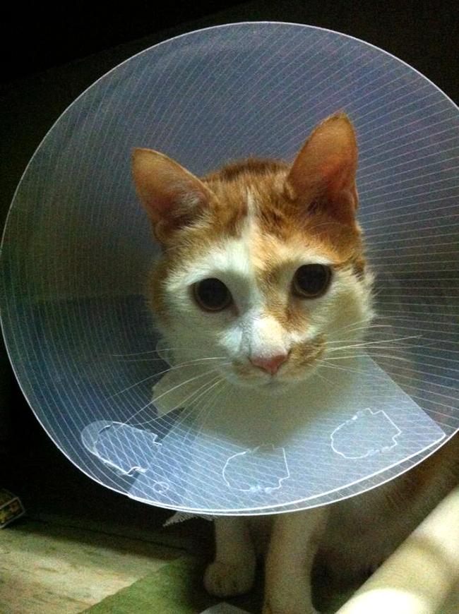 家裡來了一隻貓 戴頭套了
