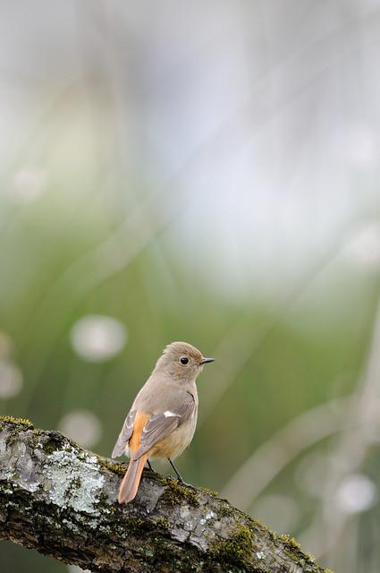 ジョウビタキ/北红尾鸲 [ Phoenicurus auroreus ]...