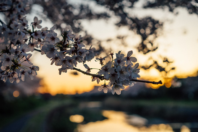 CherryBlossoms_308