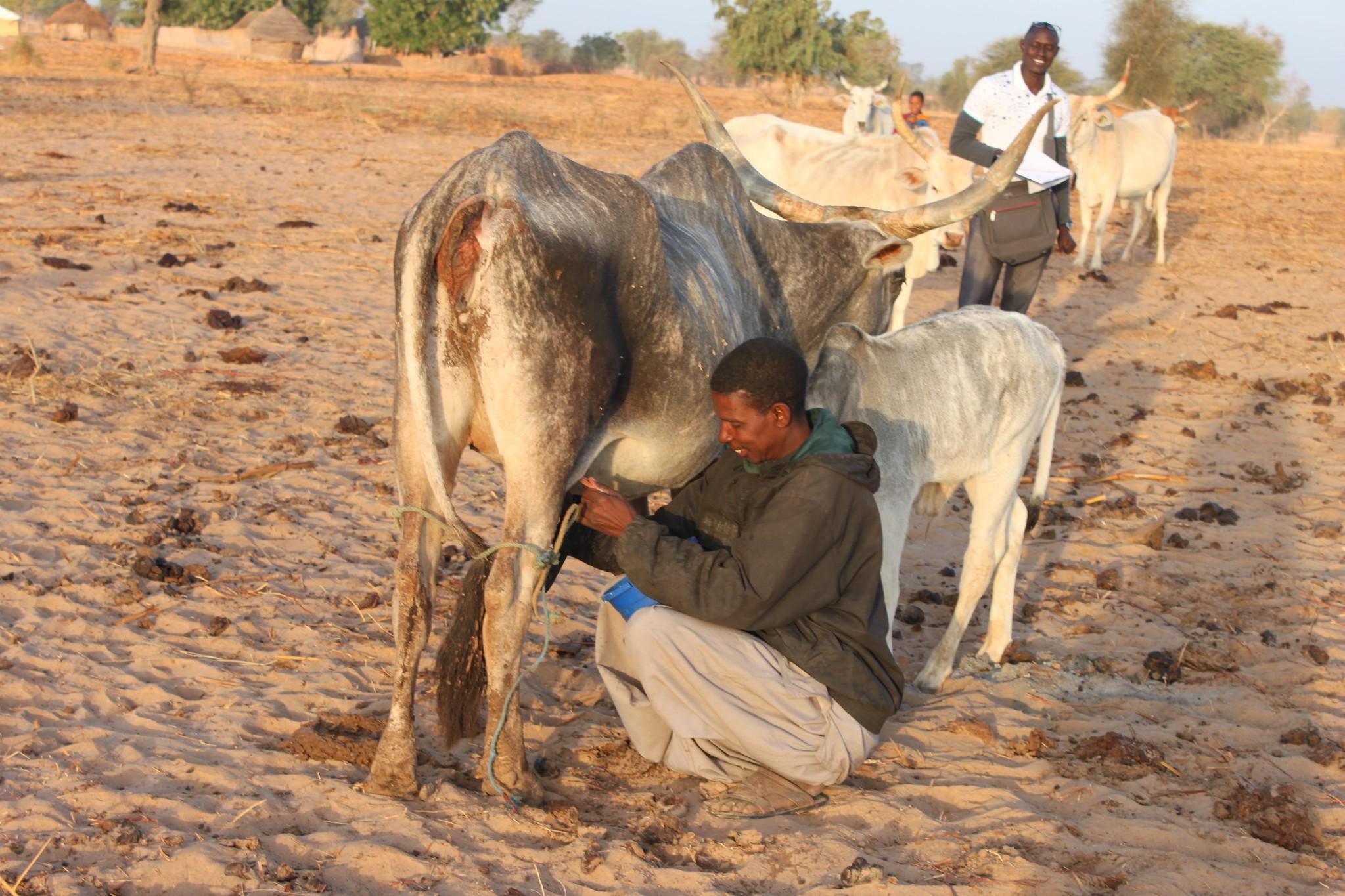 Man milking cow in Senegal
