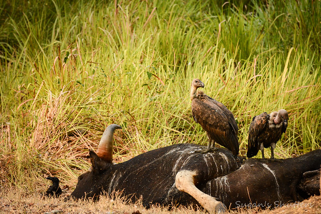The Indian Vultures and Crows scavenging on a dead Gaur (Indian Bison)..