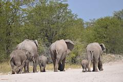 an elephantic family