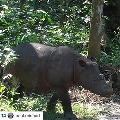 :heart:️ Good morning Rosa! :heart:️ #Repost @paul.reinhart・・・It's good to be back!:blush: #SRS #Sumatranrhino Rosa is gorgeous #TeamRhino