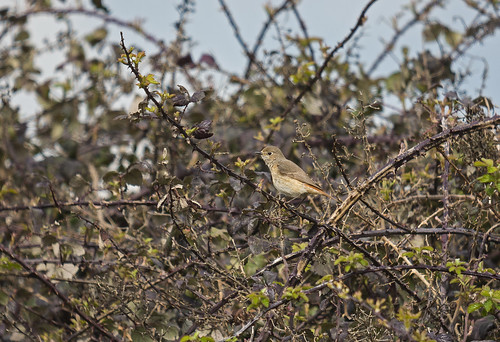 Redstart, Broom GP, 23rd April 2016