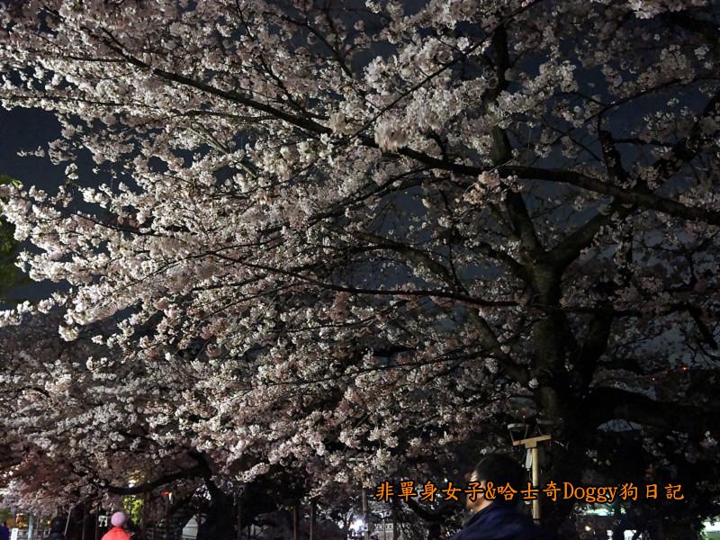 日本東京北之丸公園千鳥之淵賞夜櫻花11