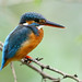 common kingfisher, female by kampang