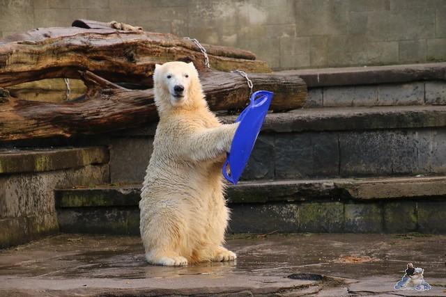 Eisbär Fiete im Zoo Rostock  0106