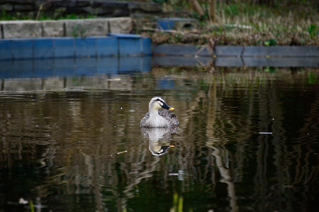 カルガモ Grey duck