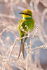 Bee-eater & winter colour