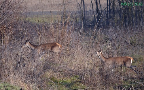 winter red nature animal female mammal bush outdoor deer hind cervus elaphus rothirsch tolna gímszarvas regöly ünő