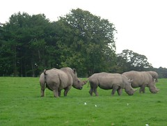 Safari - Rhinos  grazing and ---- oops !!!!!  - the one on the left