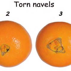 citrus-0158