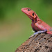 Agama Lizard using cape buffalo skull to sunbathe - 6499b+ by teagden