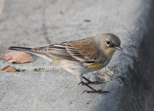 Yellow-rumped Warbler (Auduon's)